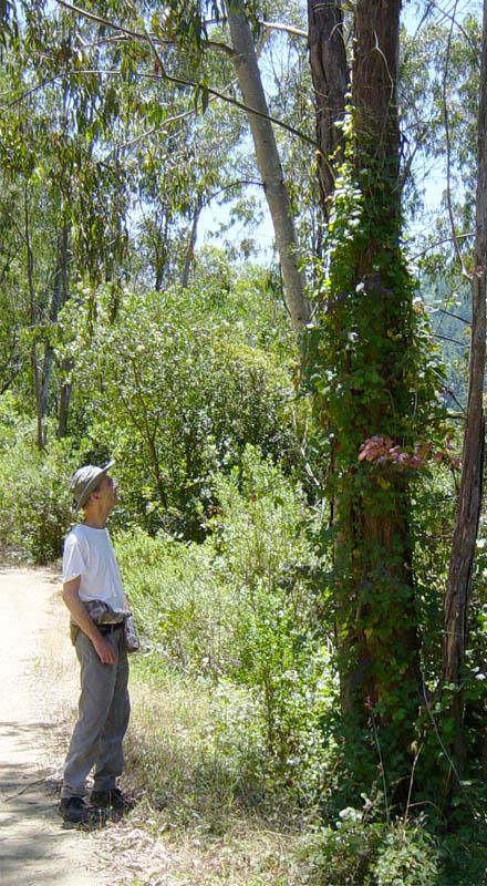 Western poison oak growing as a climbing vine.