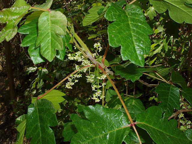 Western poison oak flowering. Source: Eeekster