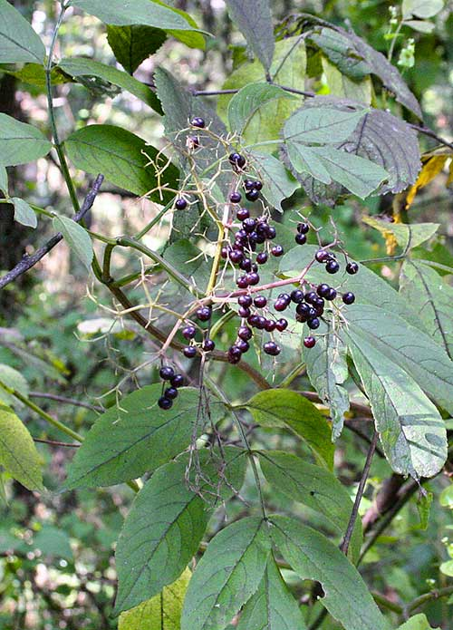 American Elderberry (Sambucus canadensis) fruits. Source: Elbert-L.-Little,-Jr.