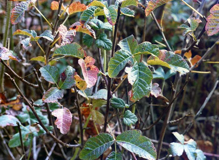 Western poison oak growing as a brush.