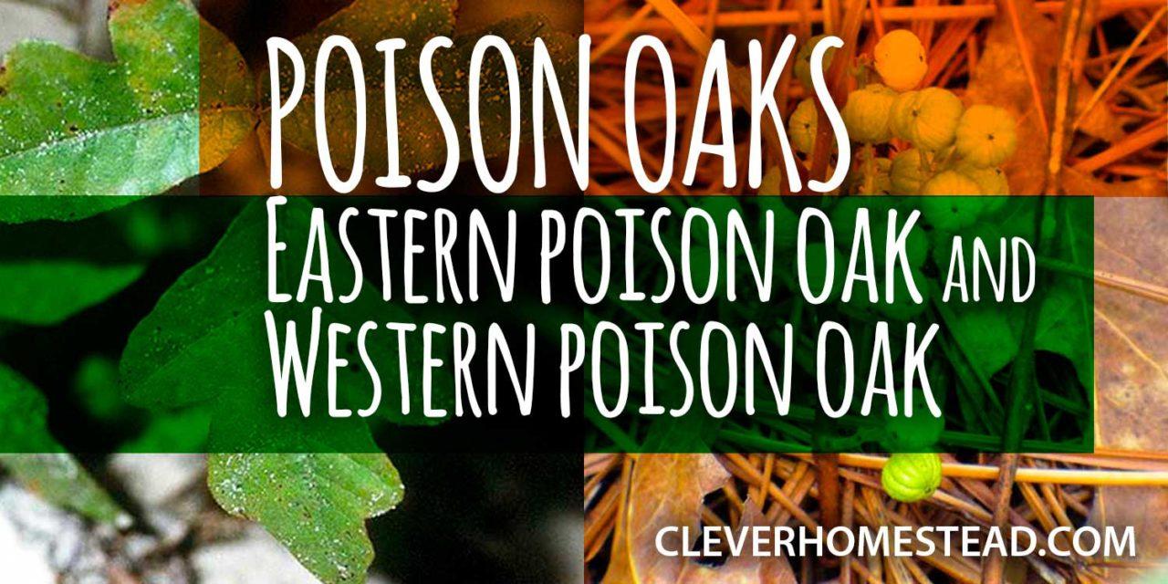 POISON OAKS: Eastern poison oak and Western poison oak. A Helpful Illustrated Guide.
