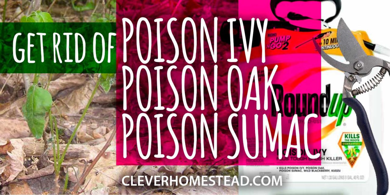 How to GET RID OF POISON IVY, Poison oak and Poison sumac? A Helpful Illustrated Guide.