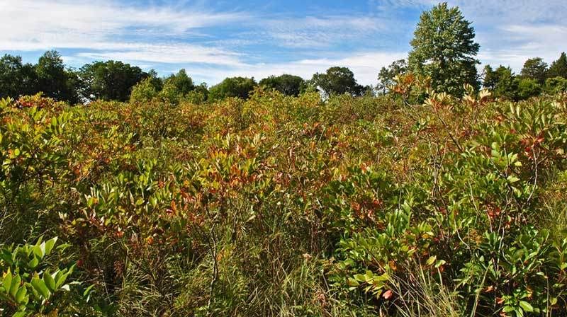 An area full of Poison sumac (T. vernix). By Aaron Carlson on Flicker