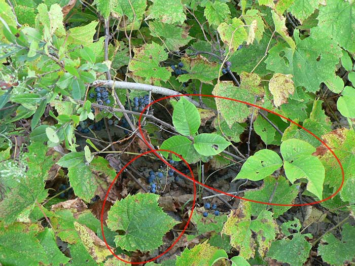 River Bank Grape or Frost Grape with large jagged leaves. We can see a poison ivy plant right in the middle.