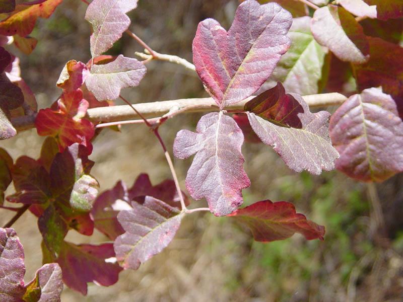 Western poison oak shrub at fall.