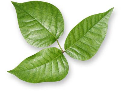 Nonclimbing and climbing Eastern poison ivy: 3 leaves with smooth edges.