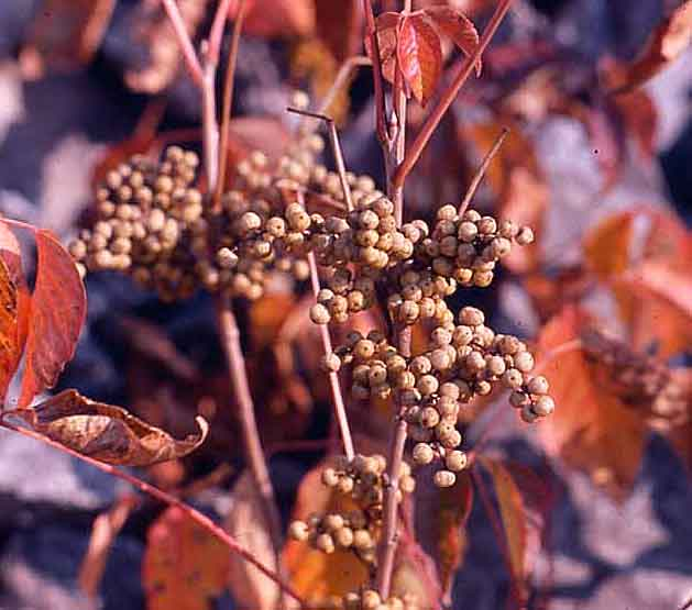 Fruits of the nonclimbing poison ivy (T. rydbergii) in autumn. Notice the red leaves. Copyright http://weedscanada.ca/cashew.html Fruits of the nonclimbing poison ivy (T. rydbergii) in autumn. Notice the red leaves. Copyright http://weedscanada.ca/cashew.html