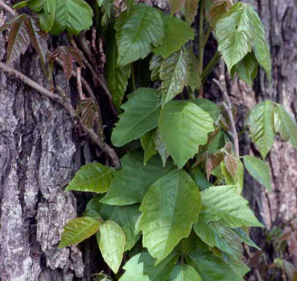 Eastern climbing poison ivy (T. radicans) can have toothed leaves.