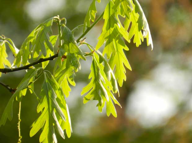 White oak, young leaves.