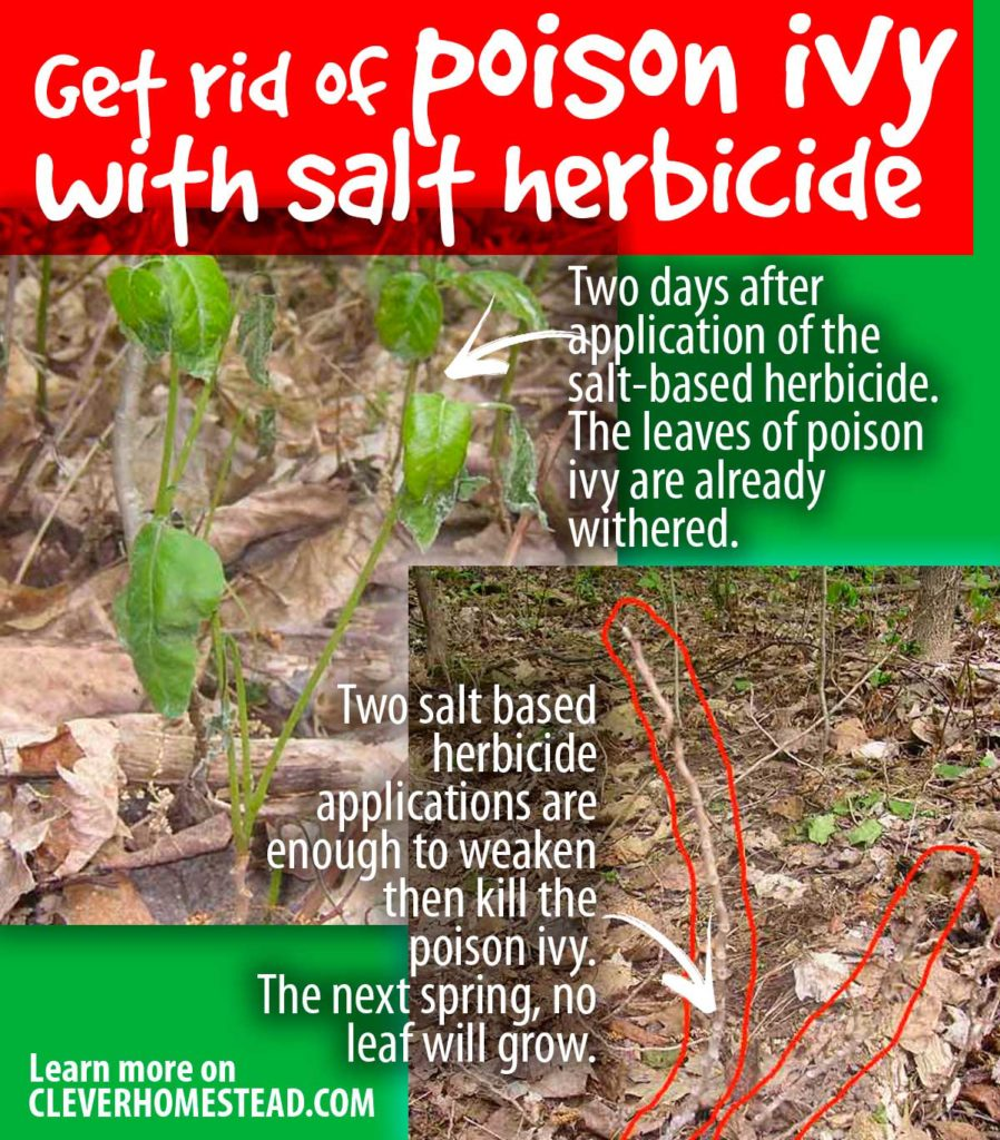 Get rid of poison ivy with salt herbicide